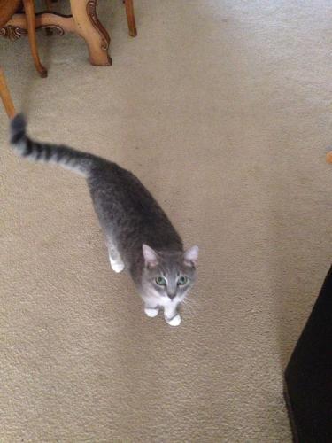 Lost Male Cat last seen Near Romney lane Virginia Beach va, Virginia Beach, VA 23455