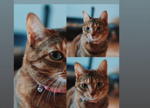 Lost Female Cat last seen Fairfax terrace near Somerville crescent in Chesapeake Virginia , Chesapeake, VA 23320