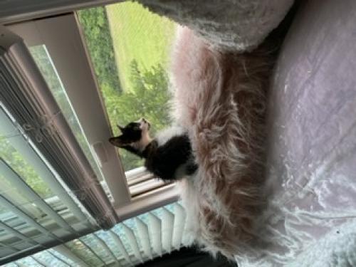 Lost Male Cat last seen Virginian dr , Norfolk, VA 23505