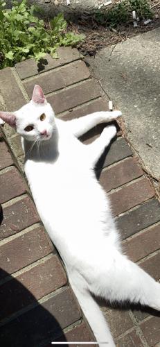 Lost Male Cat last seen pot o gold trl/brite ave area. in brite meadows, Elizabeth City, NC 27909