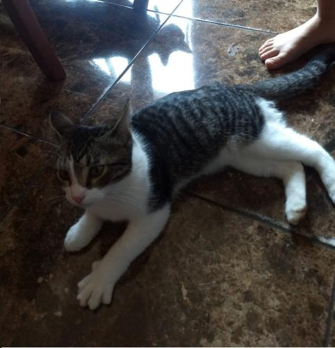 Found/Stray Unknown Cat last seen Collins st and Truman st, Arlington, TX 76011