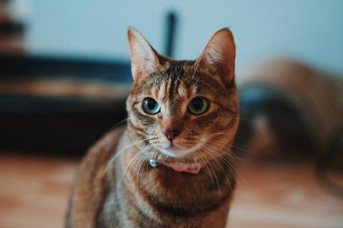 Lost Female Cat last seen Cedar Lake Oak Grove , Chesapeake, VA 23320