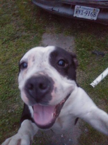 Lost Female Dog last seen Portsmouth and Elm avenue, Portsmouth, VA 23704