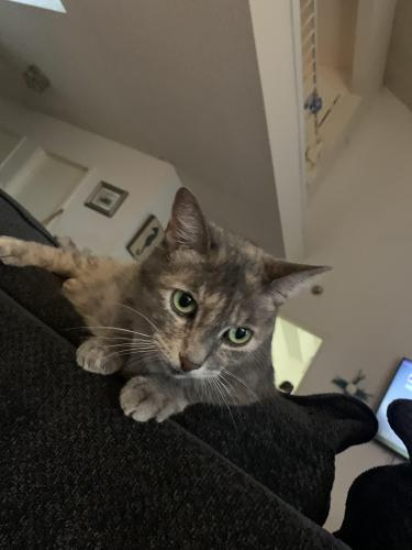 Lost Female Cat last seen Fox hunt  &  Chaoel Downs dr, Arlington, TX 76017