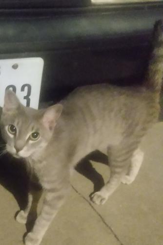 Found/Stray Male Cat last seen Shady Valley Apartments..Green Tee@Wagonwheel Rd, Pantego, TX 76013