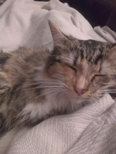 Lost Female Cat last seen West Hill Cemetery, Sherman, TX 75092