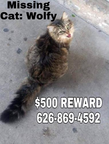 Lost Female Cat last seen Bess and Frazier , Baldwin Park, CA 91706