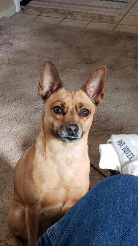 Lost Female Dog last seen West of the pool , Mesa, AZ 85205