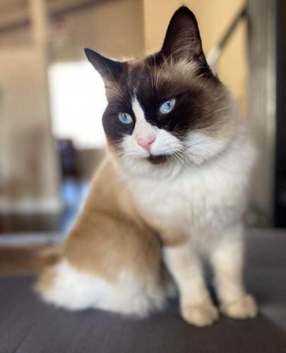 Lost Male Cat last seen 6th and Orange street, Huntington Beach, Ca, Huntington Beach, CA 92648