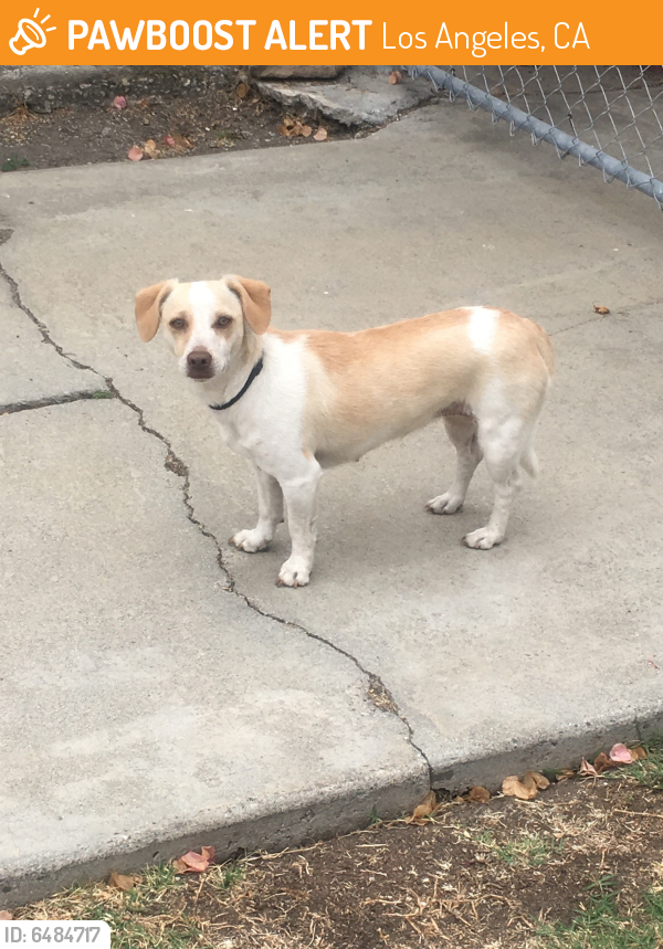 Found/Stray Female Dog last seen 54th Street and West Blvd., Los Angeles, CA 90043