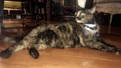 Lost Female Cat last seen Kester Ave, Los Angeles, CA 91401
