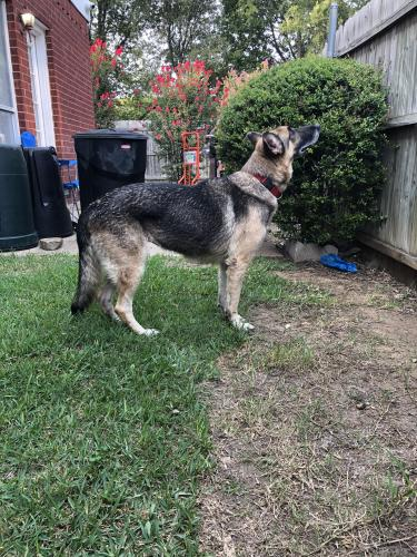 Found/Stray Female Dog last seen Bardin, Grand Prairie, TX 75052
