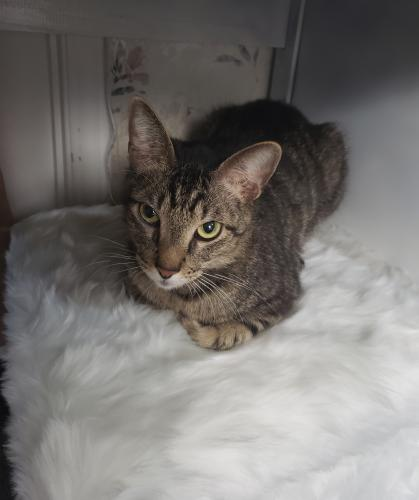 Lost Male Cat last seen Hwy 161, Trinity Blvd, River Ridge Blvd, Roy Orr Blvd,, Grand Prairie, TX 75050