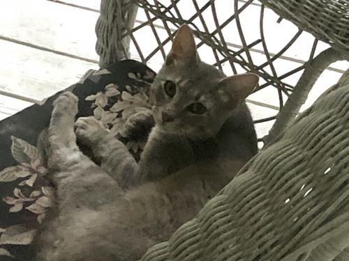 Found/Stray Unknown Cat last seen Latigo Lane and Cobb Hill Lane, Oakton, VA 22124
