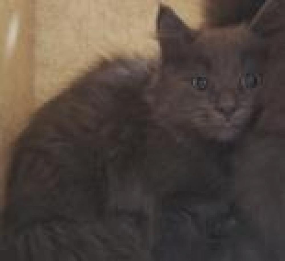 Shelter Stray Male Cat last seen Near Vernacchia Dr, Herndon, Fairfax County, VA, Fairfax, VA 22030