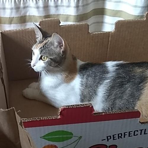 Lost Female Cat last seen Near the Virginia Dance center and La China Poblana, Manassas, VA 20110