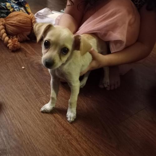 Lost Female Dog last seen 45th st and FIGUEROA st, Los Angeles, CA 90037