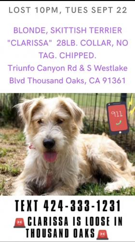 Lost Female Dog last seen Triunfo Canyon Road & S. Westlake Blvd Thousand Oaks , Thousand Oaks, CA 91361