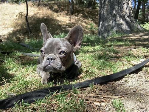 Lost Female Dog last seen N Rancho Ave & W Citrus St, Colton, CA 92324