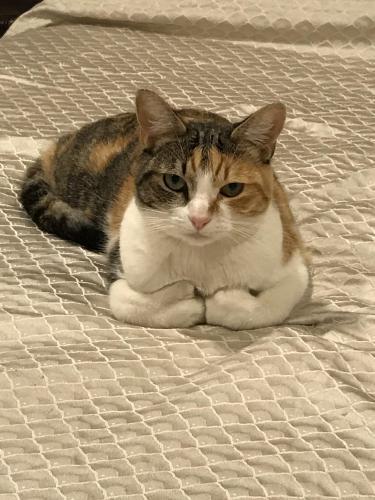 Lost Female Cat last seen Longhill and Elkridge, Rancho Palos Verdes, CA 90275