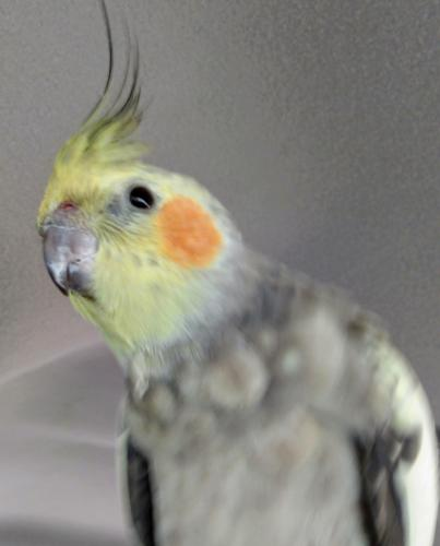 Lost Male Bird last seen Harbor Blvd, Santa Ana, CA 92703