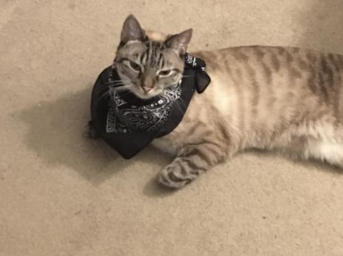 Lost Male Cat last seen Near Topaz Ln, Virginia Beach, VA 23456