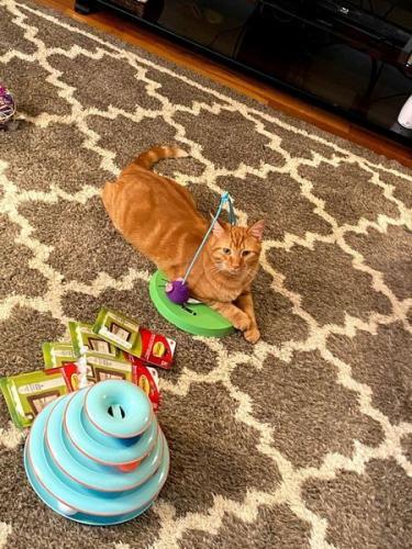 Lost Male Cat last seen Garfield & Root Rd Lorain, Lorain, OH 44052