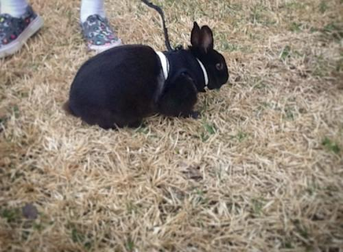 Lost Male Rabbit last seen Wingate Way Virginia Beach, Virginia Beach, VA 23464