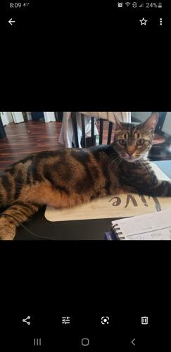 Lost Male Cat last seen Blackberry/Shorewood, Arlington, TX 76016