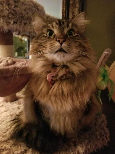 Lost Female Cat last seen Commercial and Henry st., Neenah, WI 54956