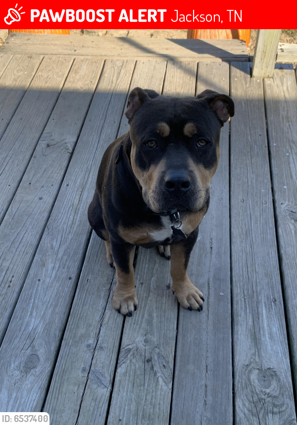 Deceased Male Dog last seen Home on Hayes Branch Trail, Jackson, TN 38301