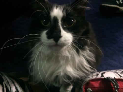 Lost Female Cat last seen York Rd and Pleasant Valley Road, Parma, OH 44130