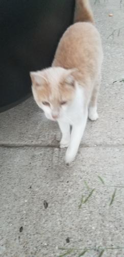 Found/Stray Female Cat last seen Matlock and Sublett, Arlington, TX 76018