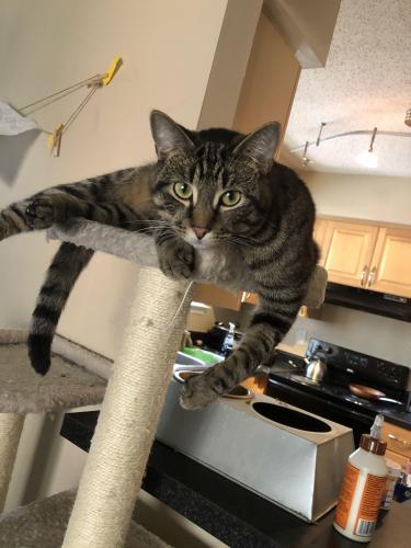 Lost Male Cat last seen Cambridge Drive, McLauren , Suffolk, VA 23435