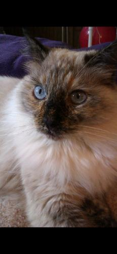 Lost Female Cat last seen Orangewood and Dale, Garden Grove, CA 92841