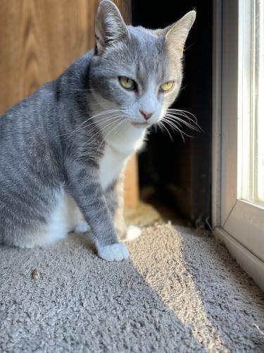 Lost Male Cat last seen Near tanglewood trail Chesapeake 23325, Chesapeake, VA 23325