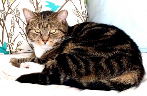 Lost Female Cat last seen West Neck Road near Kellam High School, Virginia Beach, VA 23456