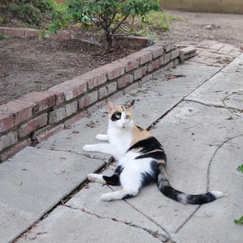Lost Female Cat last seen Near w bishop santa ana 92703, Santa Ana, CA 92703