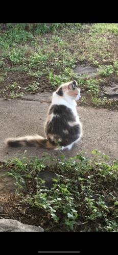Lost Female Cat last seen Shorewood dr and Bowman springs , Arlington, TX 76016