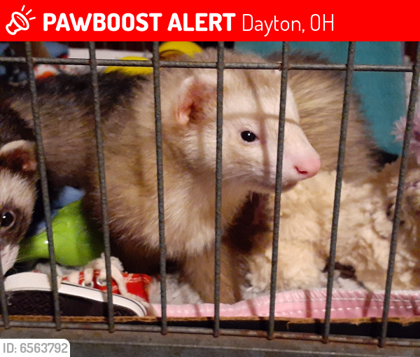 Lost Male Ferret last seen Neva and lodge ave. Dayton ohio 45414, Dayton, OH 45414