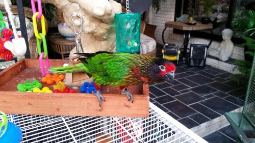 Lost Male Bird last seen Heather Drive & Hoylake Drive Virginia Beach VA 23462, Virginia Beach, VA 23462