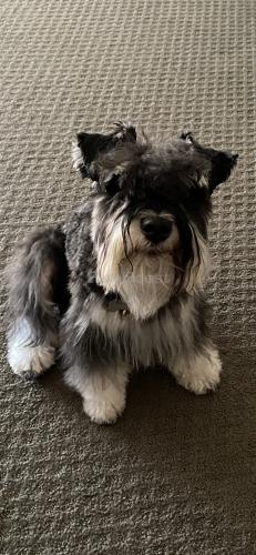Lost Male Dog last seen Brighton Ct, Redlands, CA 92373