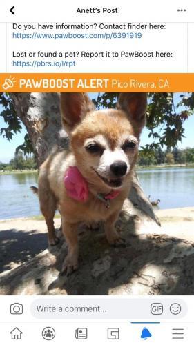 Lost Female Dog last seen Washington Blvd, Pico Rivera, CA 90660