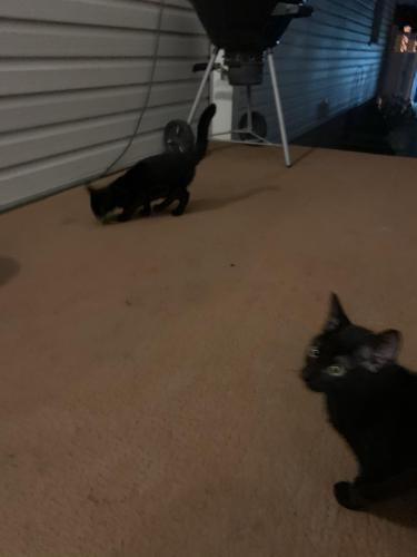 Found/Stray Unknown Cat last seen East Liberty Park, Akron, OH 44319