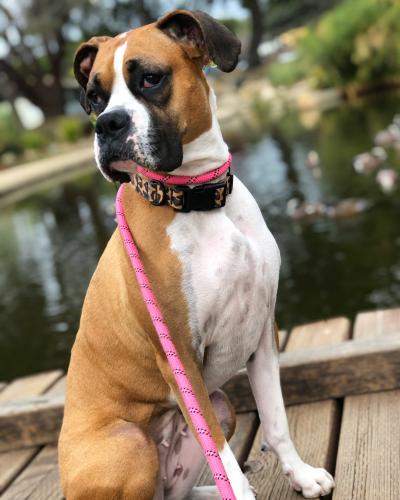 Lost Female Dog last seen 4th and Monica Santa Monica , Santa Monica, CA 90403