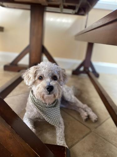 Lost Male Dog last seen Bellflower Blvd & Lakewood Blvd , Downey, CA 90241