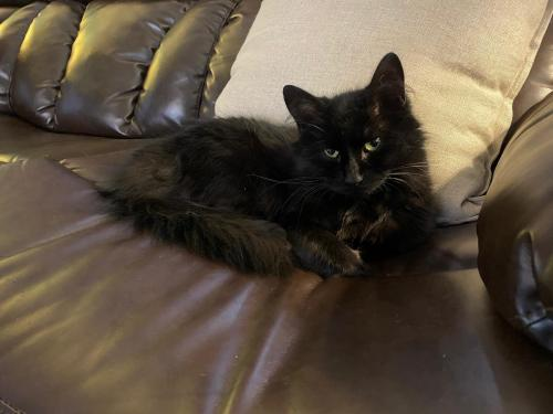 Lost Female Cat last seen Spring Road, Cleveland, OH 44109