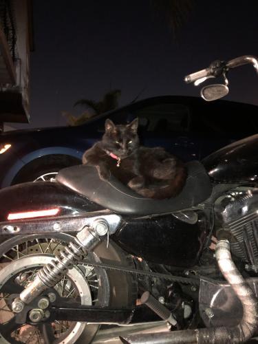 Lost Male Cat last seen Avalon broad , Carson, CA 90745