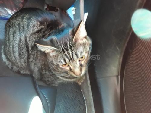 Lost Male Cat last seen Beach blvd and malvin, Buena Park, CA 90621