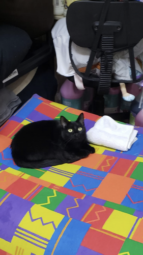 Lost Female Cat last seen Dobbin-Huffsmith and Hardin Store Rd, Montgomery County, TX 77354